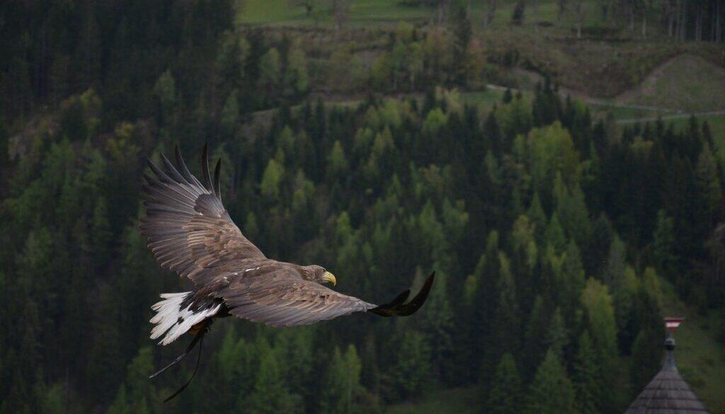 eagle-339128_1280